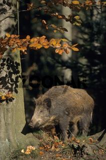 Wildschweinueberlaeufer steht am Waldrand  sichert - (Wildschwein - Schwarzwild) / Young Wild Boar standing at a forest edge - (Feral Pig - Wild Boar) / Sus scrofa