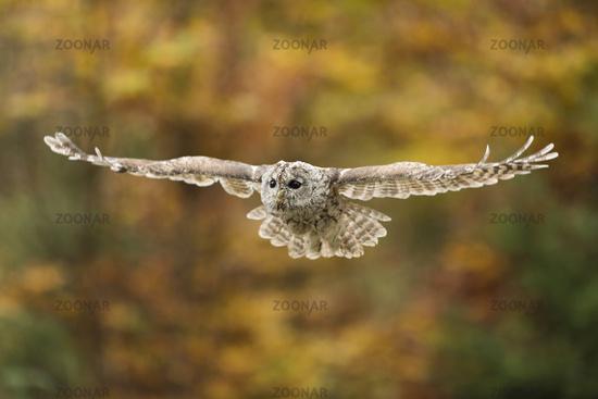 autumn colors... Tawny Owl *Strix aluco*