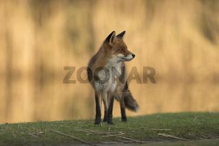 Herbstsonne... Rotfuchs *Vulpes vulpes*