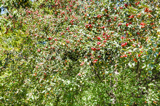 wild malus tree with ripe red apples in forest