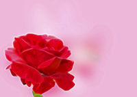 Illustration red rose on a pink background for a greeting card