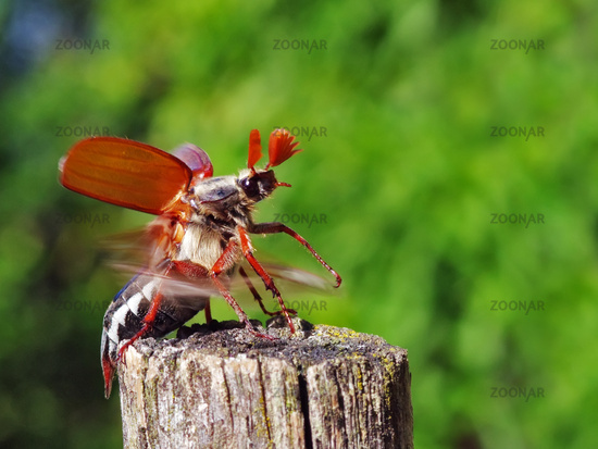 Cockchafer in flight