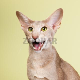 Studio portrait of lavender colored Siamese cat