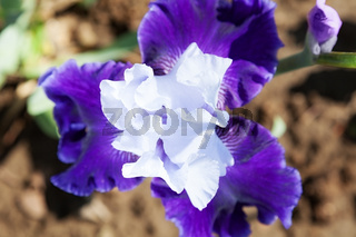 beautiful flower iris closeup. blue