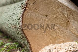 Jahresringe bei gefälltem Baumstamm