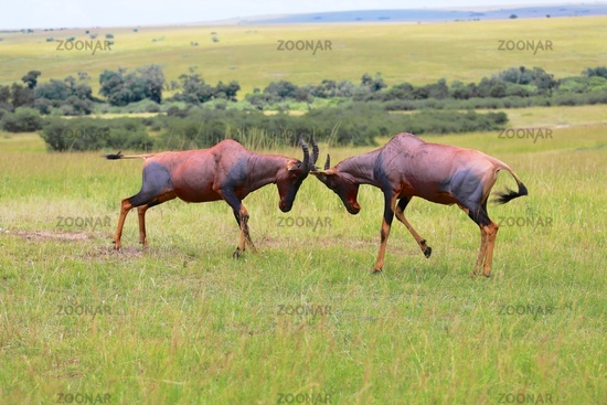 two hartebeests fighting at the masai mara national park