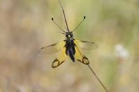Crete Owlfly Ascalaphid, Libelloides rhomboides
