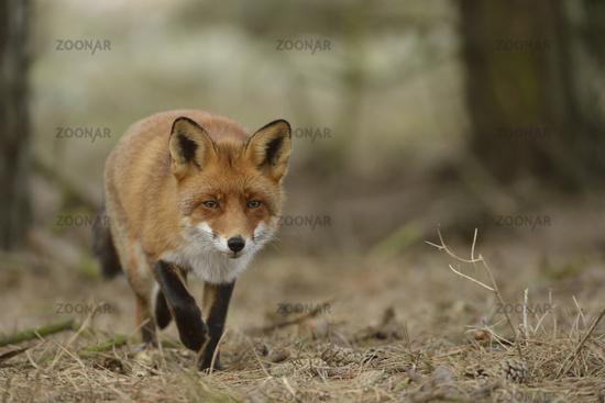 on its way... Red fox *Vulpes vulpes*