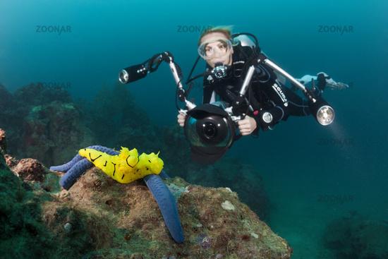 Gelbe Neonsternschnecke auf Seestern, Salomonen