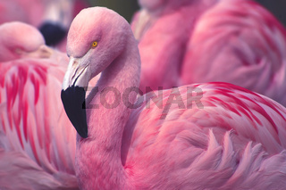 Chilean Flamingos / Looking Fine in Pink