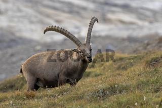 Alpensteinbock, Nationalpark Hohe Tauern, Kärnten, Österreich, Europa / Capra Ibex