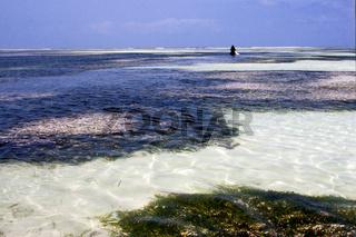 and seaweed in the  blue lagoon relax    zanzibar africa