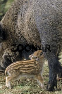 Wildschweinbache saeugt einen Frischling - (Schwarzwild - Wildschwein) / Wild sow lactating her Wild Boar piglet - (Wild Hog - Wild Boar) / Sus scrofa