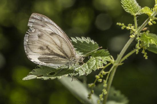 Green-veined white (Pieris napae)