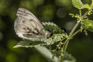Grünader-Weißling (Pieris napae)