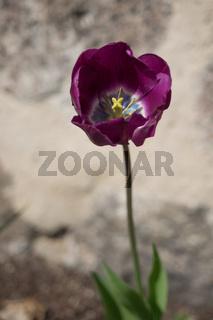 Nahaufnahme einer lila Blüte einer Tulpe