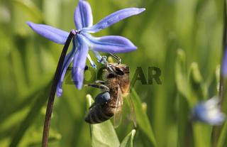 Honigbiene sammelt blauen Pollen an einem Blaustern
