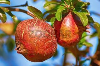 Fruit of Punica Granatum
