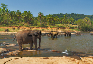 family Asia Elephant bath in river Ceylon, Pinnawala