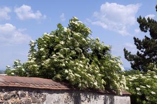 Weisser, Holunder; Haschberg; Holunderbeere; Sambucus, nigra; Heilpflanze;