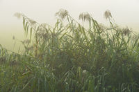 Reed in Early Morning Fog