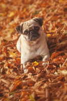 Pug in red autumn