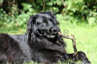 Schwarzer Hund mit Stöckchen