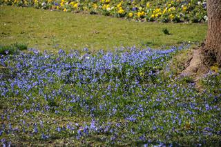 Scilla sibirica, Sibirisches Blausternchen, Siberian squill