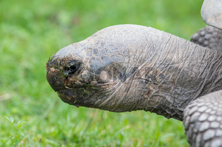 Galapagos giant tortoise eating
