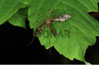 Crane fly, Epiphragma ocellaris, Augenschnake