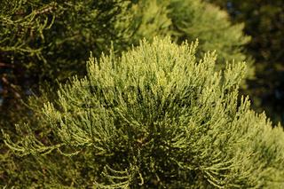 Sequoiadendron giganteum, Mammutbaum, Redwood