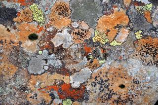 Flechten auf einem Stein