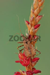 Baumsichelwanze (Himacerus apterus)