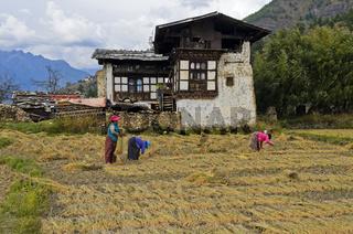 Frauen bei der Ernte von Reis auf einem Bauernhof, Paro, Bhutan