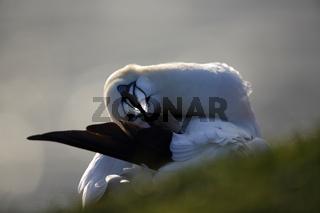 Basstoelpel Helgoland