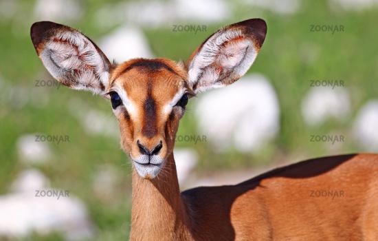 Impala, Etosha National park, Namibia, Aepyceros petersi