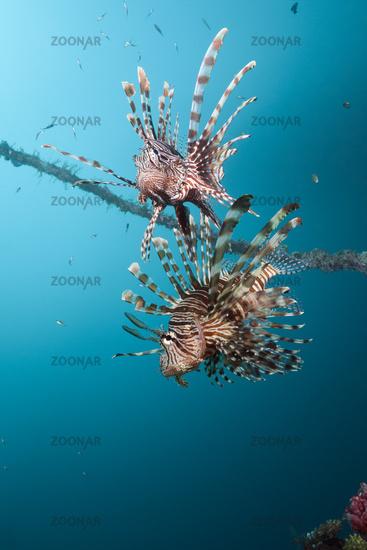 Rotfeuerfische am Mbike Wrack, Salomonen