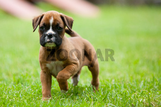Playful Boxer Puppy