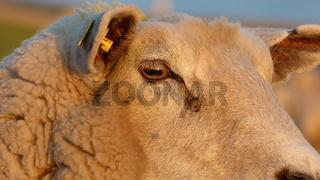 Schaf in der Abendsonne