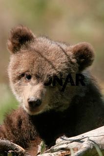 Portrait of Grizzly bear cub