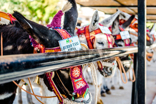 Famous donkey taxi. A major attraction for visitors in Mijas, Andalusian town on the Costa del Sol. Spain