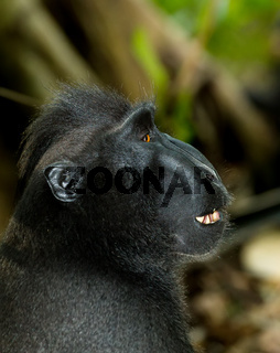 portrait of Celebes crested macaque