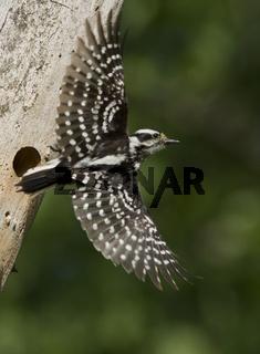 Female Downy Woodpecker at nest