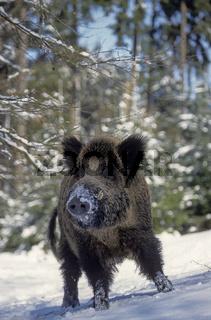 Wildschweinkeiler im Winterwald beobachtet aufmerksam den Fotografen - (Schwarzkittel - Wildschwein) / Wild Boar tusker in winter forest observing alert the photographer - (Wild Hog - Feral Pig) / Sus scrofa