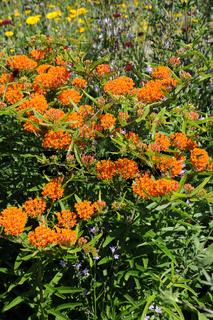 Asclepias tuberosa, Knollige Seidenpflanze