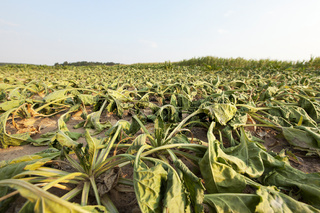 sluggish sugar beet
