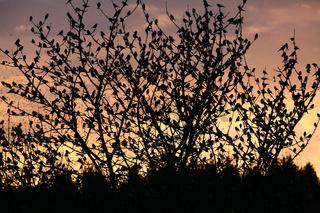 Bergfinken im Baum bei Hasel