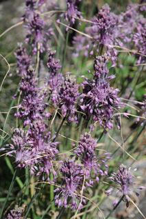 Allium carinatum ssp. pulchellum, Schöner Lauch