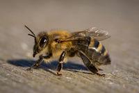 Honey Bee (Apis mellifica), Germany