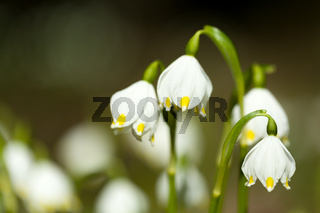 early spring snowflake flowers